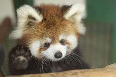 Red Panda. We have these at the Knoxville Zoo- adorable!
