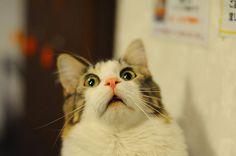 驚いた顔のネコ