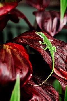 satvrn:  Green Anole on Red Ti by Eric Rolph on Flickr.