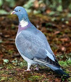 53 Best Wood Pigeon images in 2019 | Arredamento, Bulb