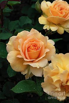 Beautiful Roses, Wild Flowers, Beautiful Flowers, Pretty Roses, Colorful Flowers, Rose Reference, Good Morning Dear Friend, Every Rose, Orange Roses