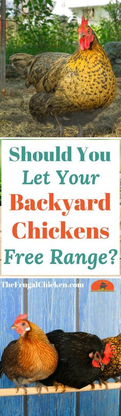 Free ranging is healthy for your chickens, but not always safe. Here's how to know whether your particular flock should free range or not!