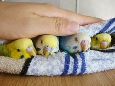 Goodnight budgies! ♡