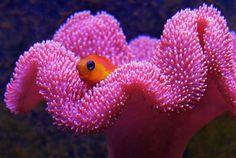 Pink or orange toadstool leather coral Saltwater Aquarium Fish, Saltwater Tank, Reef Aquarium, Corner Aquarium, Neon Tetra, Brain Coral, Sea Plants, Coral Design, Animales