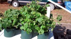The Pop Bottle Garden Update! The Tiny Tim Tomato Plants Looking Great!  1/2 half peat + half worm castings.