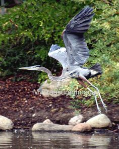 Great blue heron taking flight fine art by MyTreasuredImages, $15.00