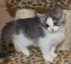 """""""Minnie Mouse"""", sweet and adorable kitten. Available for adoption now. Ragamuffin Kittens, Minnie Mouse, Adoption, Cats, Sweet, Animals, Foster Care Adoption, Candy, Gatos"""
