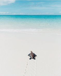 A baby sea turtle taking its first steps to the ocean in Madagascar. Photography by Baby Animals Pictures, Cute Animal Pictures, Cute Little Animals, Cute Funny Animals, Cute Baby Turtles, Underwater Animals, Cute Wallpapers, Animals Beautiful, Nature Photography