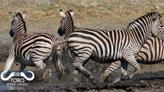 One does not want to be caught drinking for to long! These zebras have been spooked and are running for cover! River Lodge, Wildlife Safari, African Safari, Wild Life, Zebras, Wild Animals, Animals Beautiful, Canon, Drinking