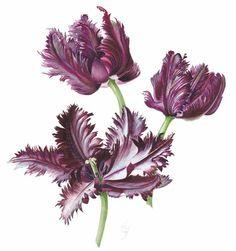Tulips © Christine Flintham SWA SBA SFP