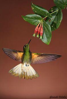 ~~Colibri Hummingbird by Gerardo Colaleo~~