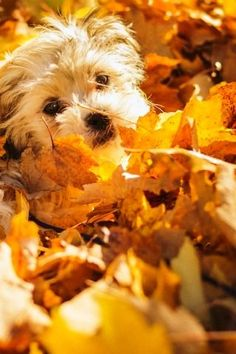 Simple Pleasures ⋆ It's a Yorkie Life Cute Puppies, Cute Dogs, Dogs And Puppies, Baby Dogs, Pear Walnut Salad, Autumn Animals, Puppy Face, Autumn Trees, Autumn Leaves