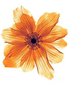 Ranunculus flower x-rayMore Pins Like This At FOSTERGINGER @ Pinterest