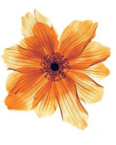 Ranunculus flower x-ray