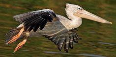 pelican (bird, Pelecanidae) | pink backed pelican photo gerhard theron pink backed pelicans spitskop ...