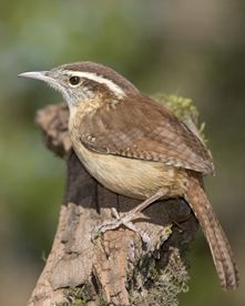 From Audubon Guides. Listen to the Carolina Wren, state bird of South Carolina. Click each numbered song to play, not the arrow.  http://www.audubonguides.com/speciesSounds/Birds/Carolina-Wren.html