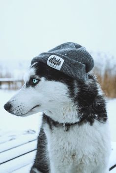 Wonderful All About The Siberian Husky Ideas. Prodigious All About The Siberian Husky Ideas. Alaskan Husky, Alaskan Malamute, Malamute Husky, Cute Husky, My Husky, Husky Puppy, Haski Dog, Funny Dogs, Puppy Husky