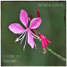 In diretta dal giardino: fiori di ottobre, gaura (Gaura Lindheimeri) Leggi di più nel blog! #giardino #giardinoindiretta #ottobre #lavoriingiardino #fiori