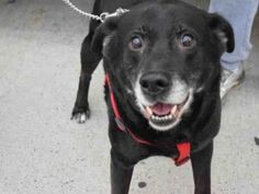 04/21/2017 SUPER URGENT ADOPT SENIOR OZZY – To be destroyed 04/21/2017 at 8pm NYC A1108192 MALE, BLACK, LABRADOR RETR MIX, 10 years old, ex-pet, friendly, playful, active, good with kids and female dogs and cats, healthy unaltered dog, Intake Date 04/07/2017, From NY 11233, past Due Out Date 04/10/2017.