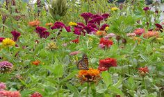 Zinnias and coxcomb on the JP Parker Flowers Farm. #FlowerPower http://www.jpparkerco.com/gallery/the-farm/