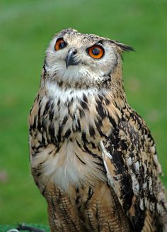 Source: Flickr / tonykro  #eurasian eagle owl