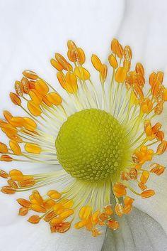 Macro of Anemone Flower-Center by Brian Valentine