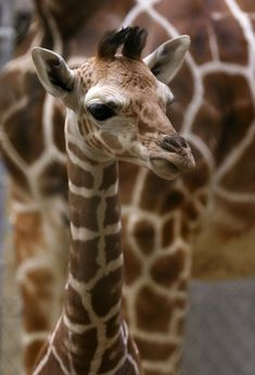 Can you name a baby that was taller than an NBA point guard at birth?  We can - this male Giraffe calf born at the Indianapolis Zoo on January 9.  See more photos at ZooBorns.com and at http://www.zooborns.com/zooborns/2016/01/giraffe-indy.html