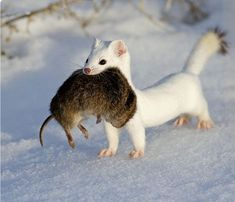 Short-tailed weasel—ermine or stoat—in its winter coat, bringing home the bacon.