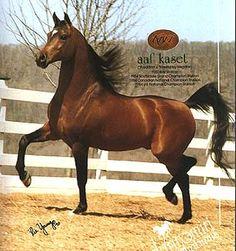 AAF Kaset (Aladdinn X Kaseta) 1980 Pure Polish Stallion