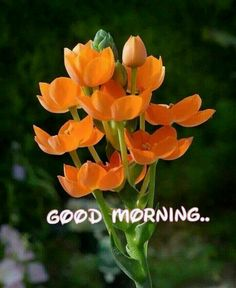 ✿ Scilloideae ✿ Ornithogalum dubium B - Ornithogalum - Wikipedia Gud Morning Pics, Good Morning Sister, Good Morning Cards, Morning Qoutes, Good Morning Texts, Good Morning Flowers, Good Morning Picture, Good Morning Messages, Good Morning Greetings