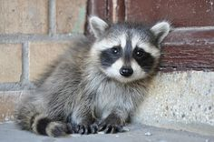 Baby raccoon by blackmarket born    @ Flickr - Photo Sharing!