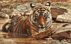 Descargar fondos de pantalla El tigre, el río, la fauna, depredador, Asia, gato montés