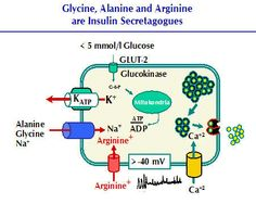 Glycine, Alanine, Arginine depolarize beta cell without the Katp channel.