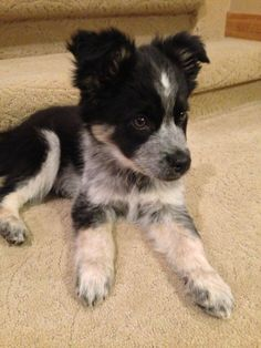 Border Collie / Blue Heeler mix.  Smart and good looking.  Nice!