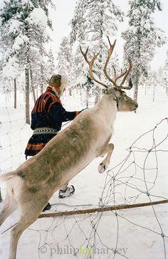 Sami Reindeer Herders   Sami reindeer herder dressed in Gakti, traditional dress, Lapland ...