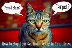 Cat urine is one of the strongest & most tenacious smells there is. If a cat pees, it's nearly impossible to get the smell out. Instead, here's how to stop your cat from peeing in your house.