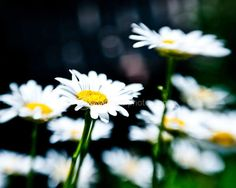 Daisies- whimsical and vibrant print by JoannasFoto via Etsy Female Photographers, Fine Art Photography, Beautiful Images, Wonders Of The World, Make Me Smile, Summertime, Whimsical, Daisy, Pictures