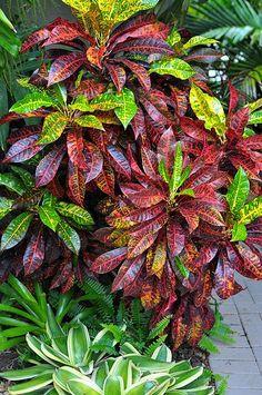 PINOCCHIO - Palmpedia - Palm Grower's Guide