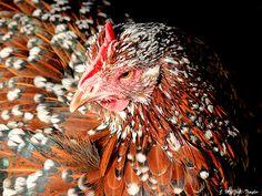 lovely chicken