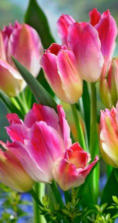 Rosy pink blooms of ~ Tulip 'Tender Whisper'