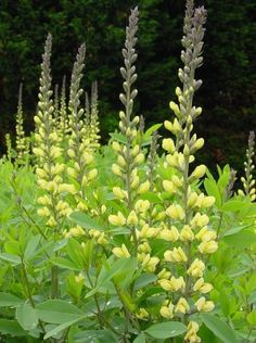 Thermopsis villosa - Aaron's Rod/False Lupin/Carolina Bush-Pea