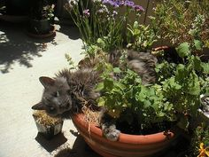 6 Plants Your Cats Will Love — WikiHow I FELL IN LOVE WITH THIS CAT AND THE MINT  POT... IT'S OK THEY WILL SHARE WITH YOU. ASHLEYYJAMES.