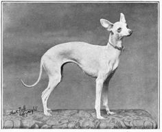 Vintage photo, Italian Greyhound