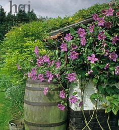 brick shed covered with Clematis Perle D Azur