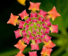 Carnival of color: 30 of the most incredible multi-colored flowers in the world - Blog of Francesco Mugnai