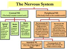 The Nervous System and Sense Organs – ICSE Solutions for Class 10 Biology Brain Anatomy, Medical Anatomy, Human Anatomy And Physiology, Peripheral Nervous System, Endocrine System, Human Nervous System, Nervous System Parts, Nervous System Function, Neurological System