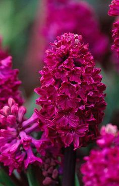 Hyacinth �Woodstock� Beautiful gorgeous pretty...