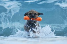 Border terrier Terrier Breeds, Terrier Dogs, Terriers, Border Terrier, Surf, Brown Dog, Hound Dog, Little Dogs, Happy Dogs