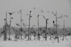 Lassi Rautiaisen NNPC-kilpailukuva Korpit (Ravens)