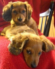 My dachshund puppies, Lilli and Jackson - a whole two months old #dachshundpuppy